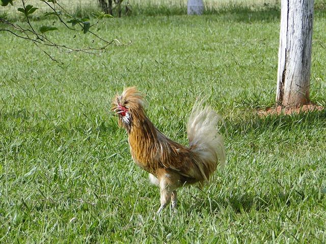 طريقة الدجاج بالكريمة